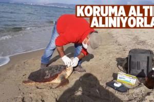 Kuşadası'nda Deniz Kaplumbağalarının Nesli Korunuyor